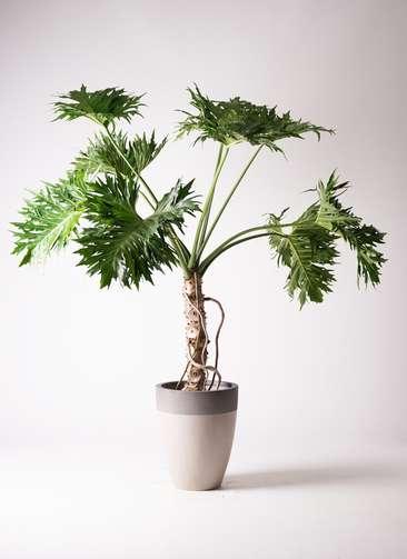 観葉植物 セローム ヒトデカズラ 根あがり 8号 ファイバーストーンカプリ サンディホワイト 付き