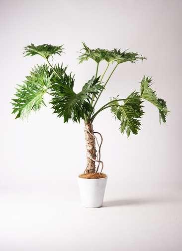 観葉植物 セローム ヒトデカズラ 根あがり 8号 フォリオソリッド 白 付き