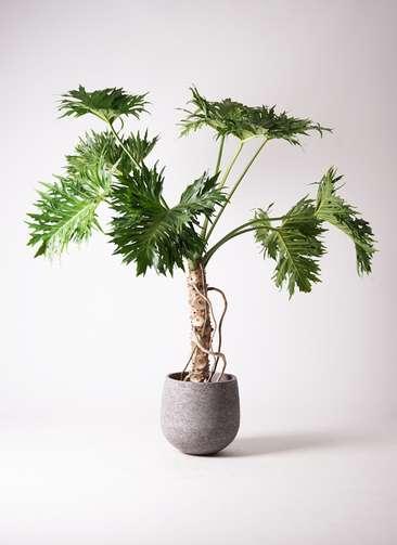 観葉植物 セローム ヒトデカズラ 8号 根あがり エコストーンGray 付き