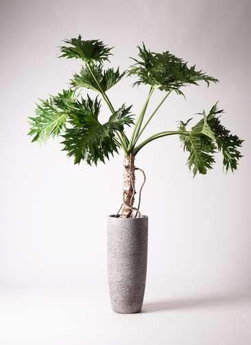 観葉植物 セローム ヒトデカズラ 8号 根あがり エコストーントールタイプ Gray 付き