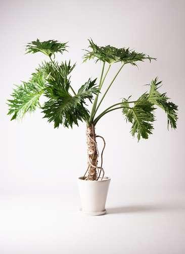 観葉植物 セローム ヒトデカズラ 8号 根あがり サブリナ 白 付き