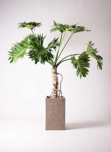 観葉植物 セローム ヒトデカズラ 8号 根あがり セドナロング グレイ 付き