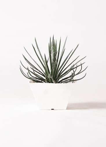 観葉植物 アガベ ジェミニフローラ 6号 白角鉢