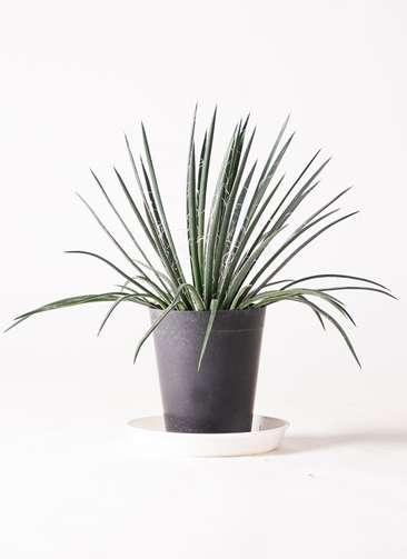 観葉植物 アガベ 6号 ジェミニフローラ プラスチック鉢