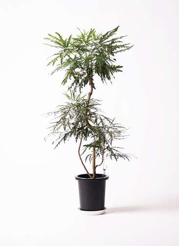 観葉植物 グリーンアラレア 曲り8号 プラスチック鉢