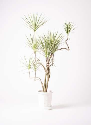 観葉植物 コンシンネ ホワイポリー 曲り 10号 プラスチック鉢