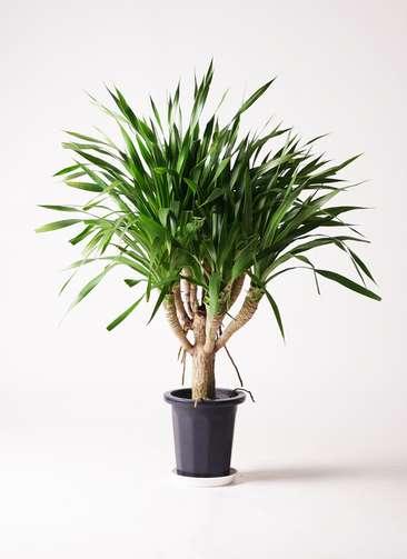 観葉植物 ドラセナ パラオ 8号 プラスチック鉢