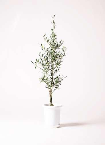 観葉植物 オリーブ コロネイキ8号 プラスチック鉢