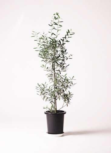 観葉植物 オリーブ 8号 チプレッシーノ プラスチック鉢