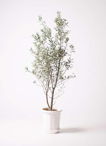 観葉植物 オリーブ チプレッシーノ 10号 プラスチック鉢