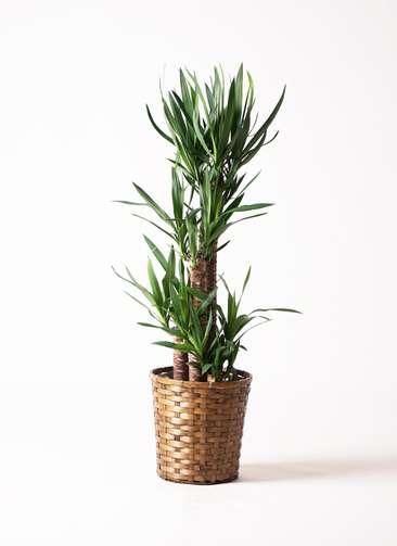 観葉植物 ユッカ 8号 竹バスケット 付き
