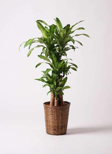 観葉植物 ドラセナ 幸福の木 8号 竹バスケット 付き