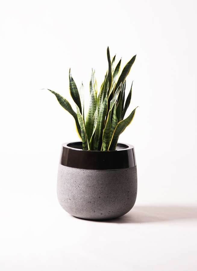 観葉植物 サンスベリア 8号 トラノオ ファイバーストーンタウルス 黒 付き