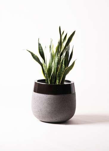 観葉植物 サンスベリア 8号 ファイバーストーンタウルス 黒 付き