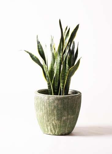 観葉植物 サンスベリア 8号 トラノオ アビスソニア ミドル 緑 付き