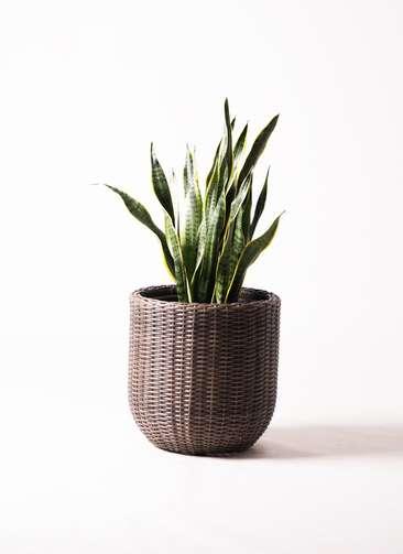 観葉植物 サンスベリア 8号 ウィッカーポット エッグ NT 茶 付き