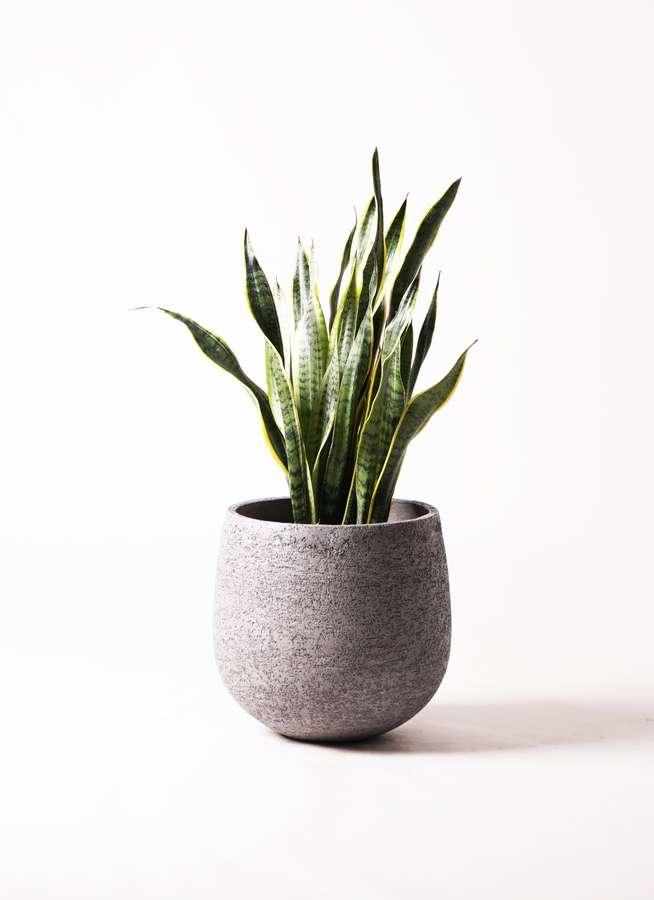 観葉植物 サンスベリア 8号 トラノオ エコストーンGray 付き