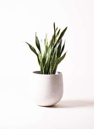 観葉植物 サンスベリア 8号 トラノオ エコストーンwhite 付き