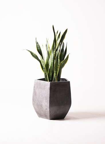 観葉植物 サンスベリア 8号 ファイバークレイ Gray 付き