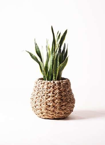 観葉植物 サンスベリア 8号 ラッシュバスケット Natural 付き