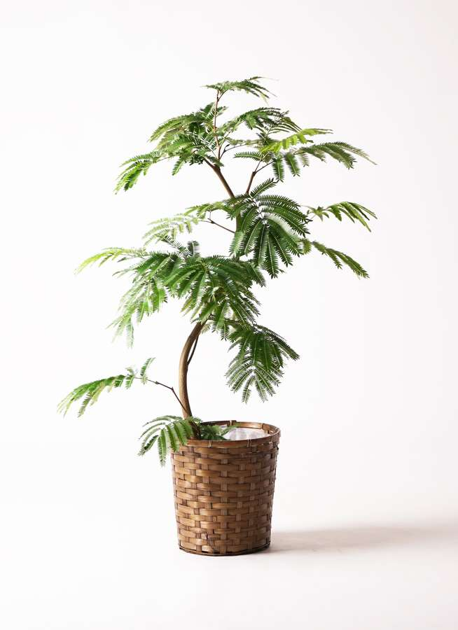 観葉植物 エバーフレッシュ 8号 曲り 竹バスケット 付き