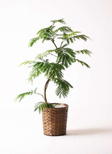 観葉植物 エバーフレッシュ 曲り8号 竹バスケット 付き