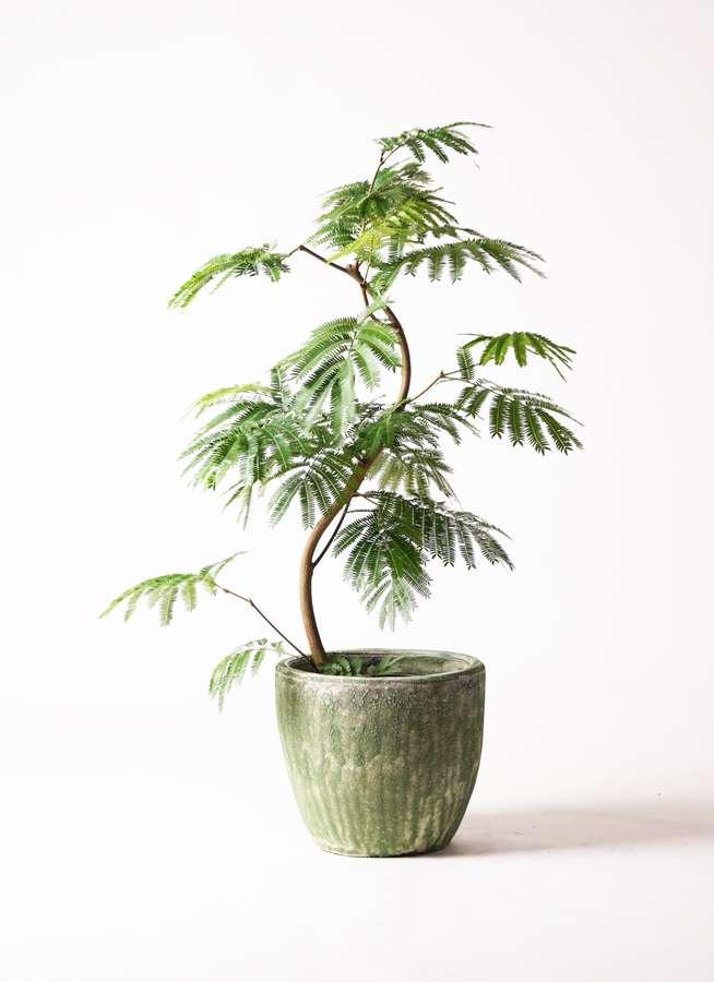 観葉植物 エバーフレッシュ 8号 曲り アビスソニアミドル 緑 付き