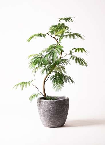 観葉植物 エバーフレッシュ 8号 曲り アビスソニアミドル 灰 付き