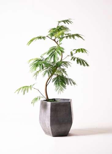 観葉植物 エバーフレッシュ 8号 曲り ファイバークレイ Gray 付き