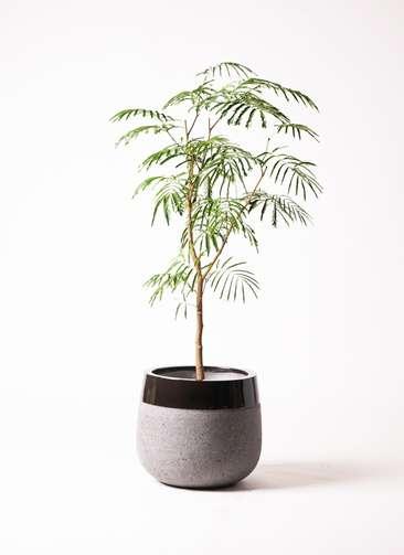 観葉植物 エバーフレッシュ 8号 ファイバーストーンタウルス 黒 付き