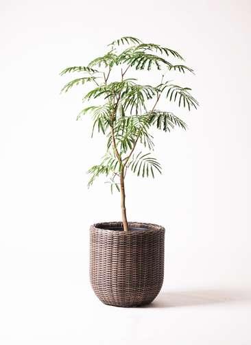 観葉植物 エバーフレッシュ 8号 ボサ造り ウィッカーポット エッグ NT 茶 付き