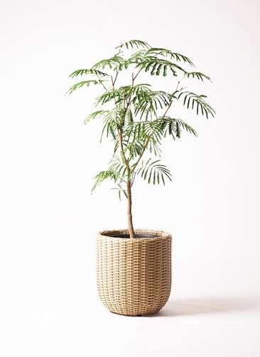 観葉植物 エバーフレッシュ 8号 ウィッカーポット エッグ NT ベージュ 付き