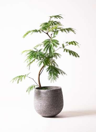観葉植物 エバーフレッシュ 曲り8号 エコストーンGray 付き
