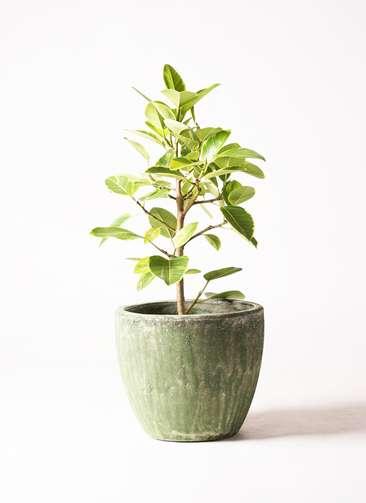 観葉植物 フィカス アルテシーマ 7号 アビスソニア ミドル 緑 付き