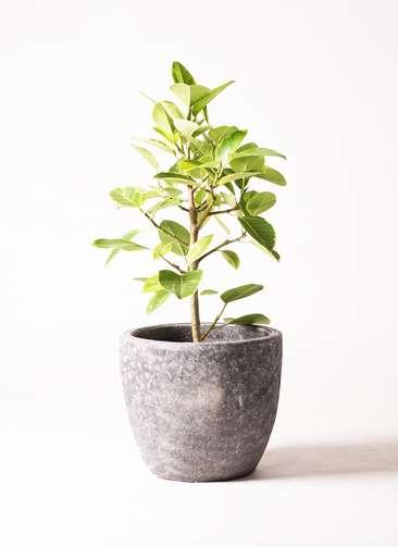 観葉植物 フィカス アルテシーマ 7号 アビスソニア ミドル 灰 付き