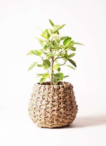 観葉植物 フィカス アルテシーマ 7号 ラッシュバスケット Natural 付き
