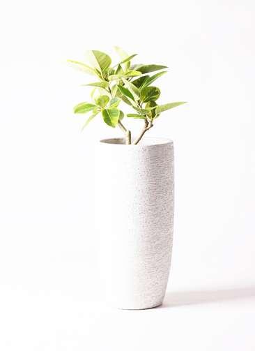 観葉植物 フィカス アルテシーマ 6号 ストレート エコストーントールタイプ white 付き