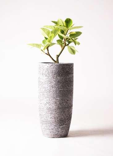 観葉植物 フィカス アルテシーマ 6号 エコストーントールタイプ Gray 付き