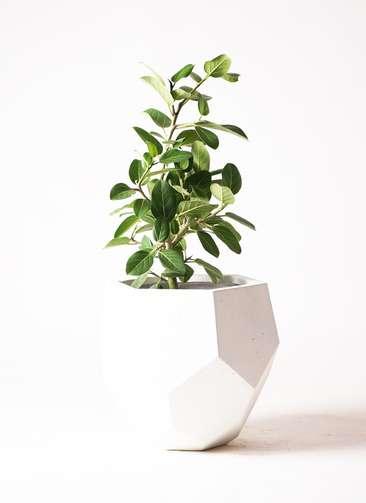 観葉植物 フィカス ベンガレンシス 7号 ポリゴ ヘクサ 白 付き