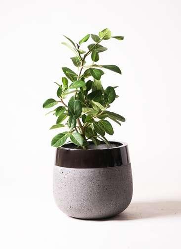 観葉植物 フィカス ベンガレンシス 7号 ストレート ファイバーストーン タウルス ミドル 黒 付き
