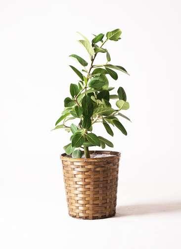 観葉植物 フィカス ベンガレンシス 7号 ストレート 竹バスケット 付き