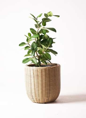観葉植物 フィカス ベンガレンシス 7号 ストレート ウィッカーポット エッグ NT ベージュ 付き