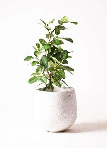 観葉植物 フィカス ベンガレンシス 7号 エコストーンwhite 付き