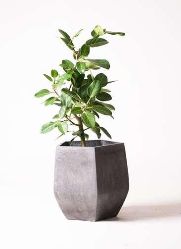観葉植物 フィカス ベンガレンシス 7号 ファイバークレイGray 付き