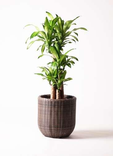 観葉植物 ドラセナ 幸福の木 8号 ウィッカーポット エッグ NT 茶 付き
