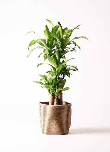 観葉植物 ドラセナ 幸福の木 8号 ノーマル リブバスケットNatural 付き