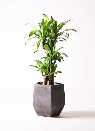 観葉植物 ドラセナ 幸福の木 8号 ファイバークレイGray 付き