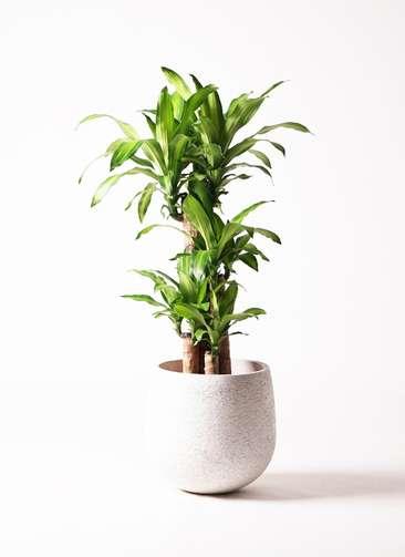 観葉植物 ドラセナ 幸福の木 8号 エコストーンwhite 付き