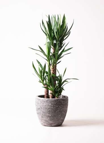 観葉植物 ユッカ 8号 アビスソニア ミドル 灰 付き