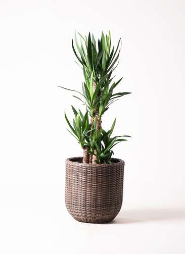 観葉植物 ユッカ 8号 ノーマル ウィッカーポット エッグ NT 茶 付き